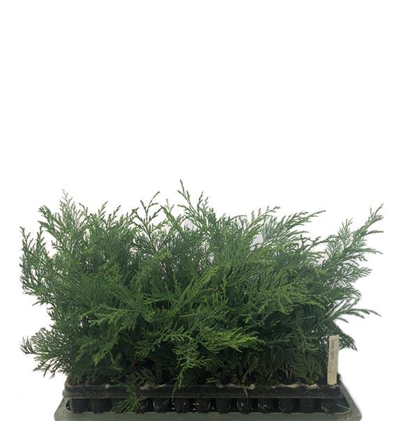 104 db-os tálcás dugvány (1 éves növény)